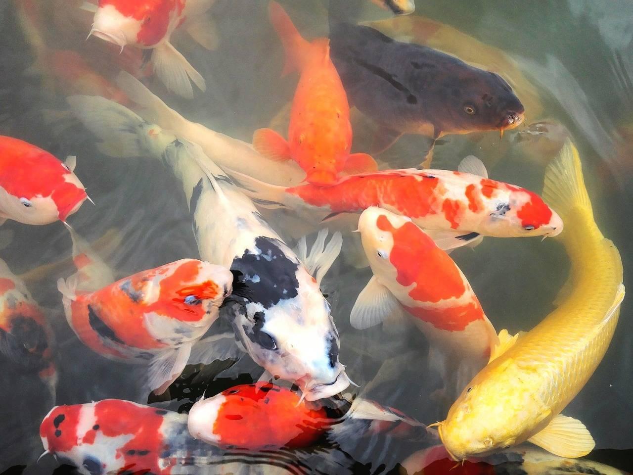 Рыба «Карп японский кои» фото и описание