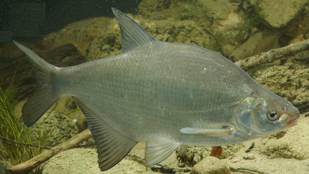 Белый амур: рыба белый амур фото и описание, нерест, способы ловли, образ жизни, приманки, калорийность, блюда из белого амура