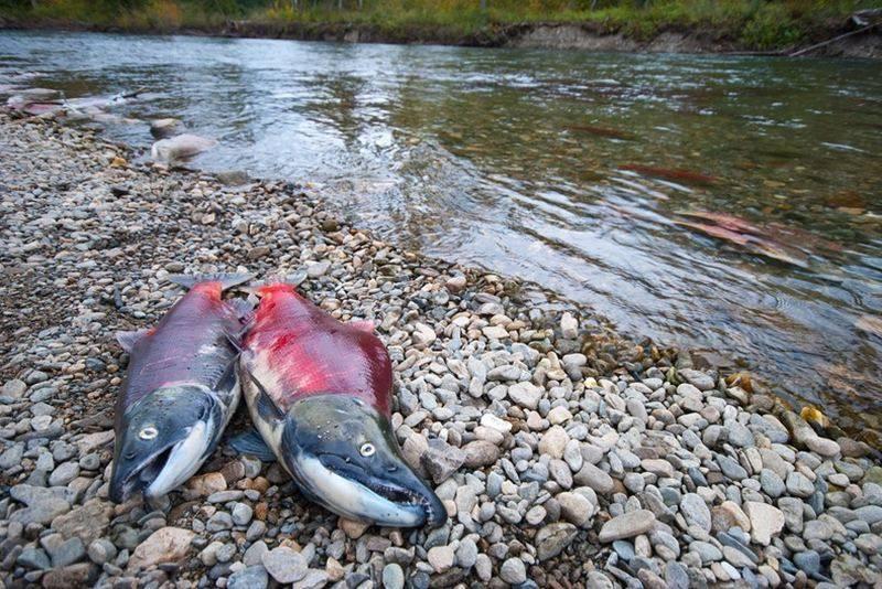 Рыба лосось: характеристика вида, где обитает, чем питается