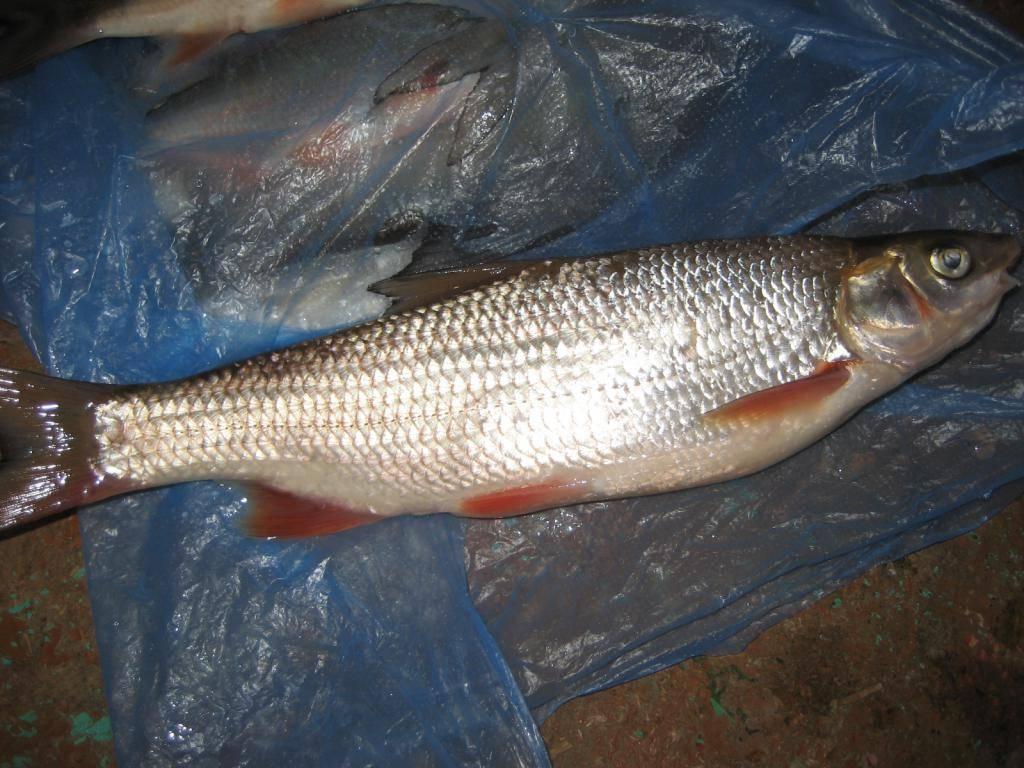 Рыба кутум как приготовить? четыре рецепта