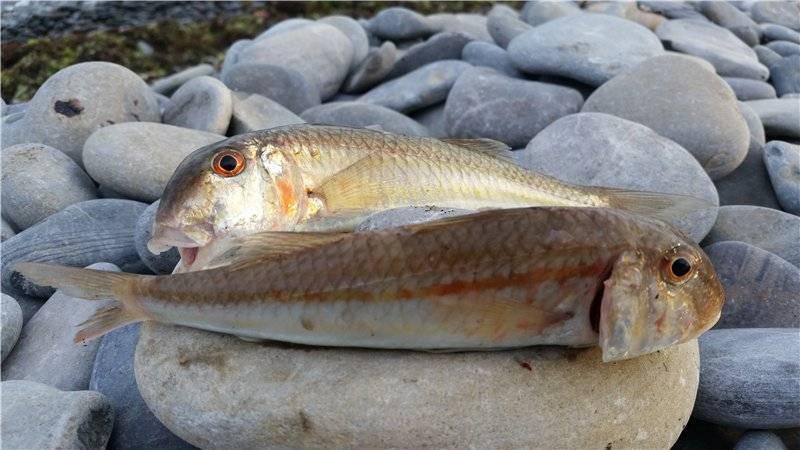 Ловля барабули: приманки, места обитания и способы ловли рыбы