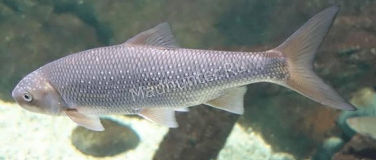 Вырезуб рыба. описание, особенности, виды, образ жизни и среда обитания вырезуба