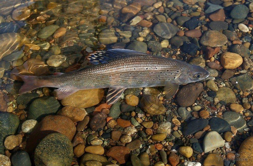 Рыба хариус (европейский): где водится в россии, какой самый большой размер, фото