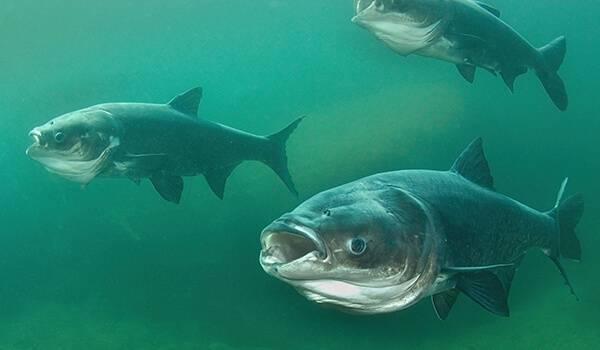 Толстолобик – что за рыба, морская или речная, где обитает толстолоб на реке, на что ловить (оснастка)