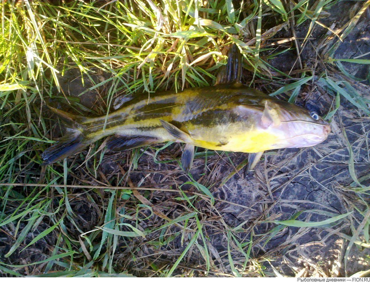 Берш рыба: фото, описание и отличия рыбы берш от судака