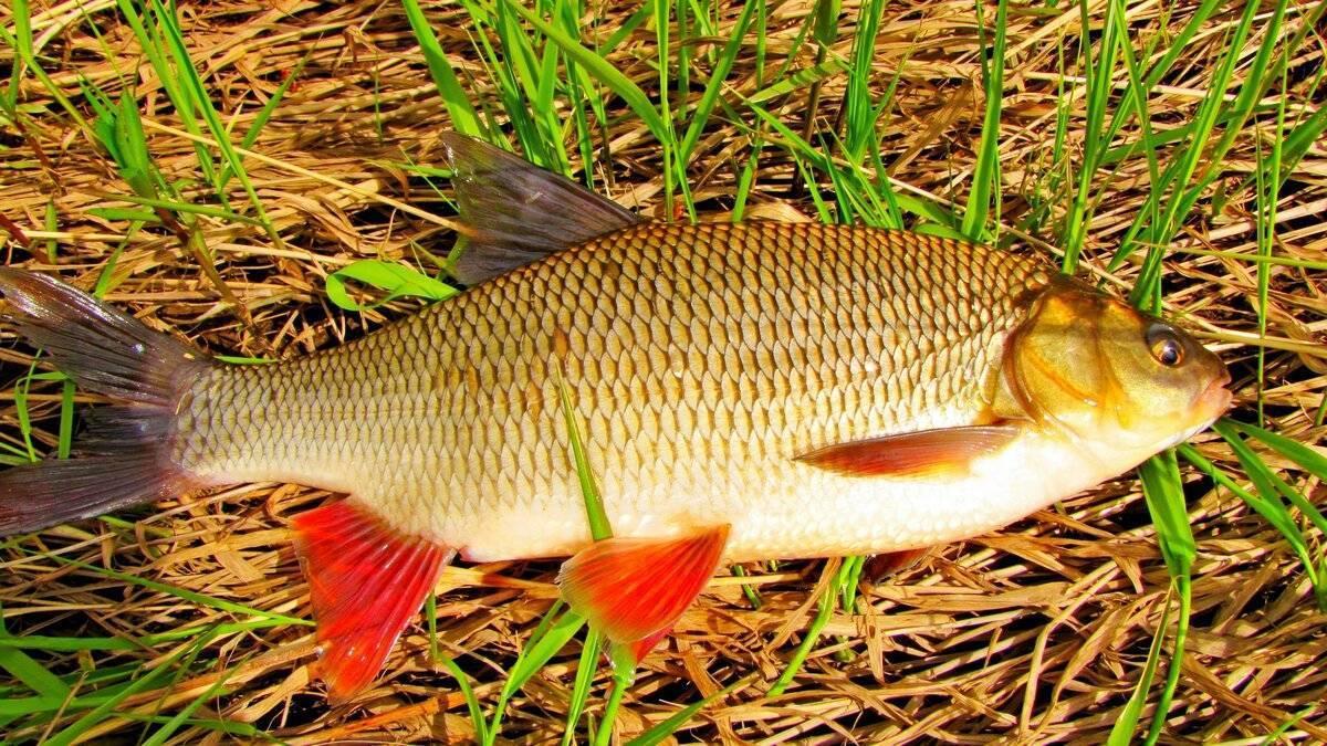 Рыба язь: подробное описание, повадки и фото отличий от других рыб