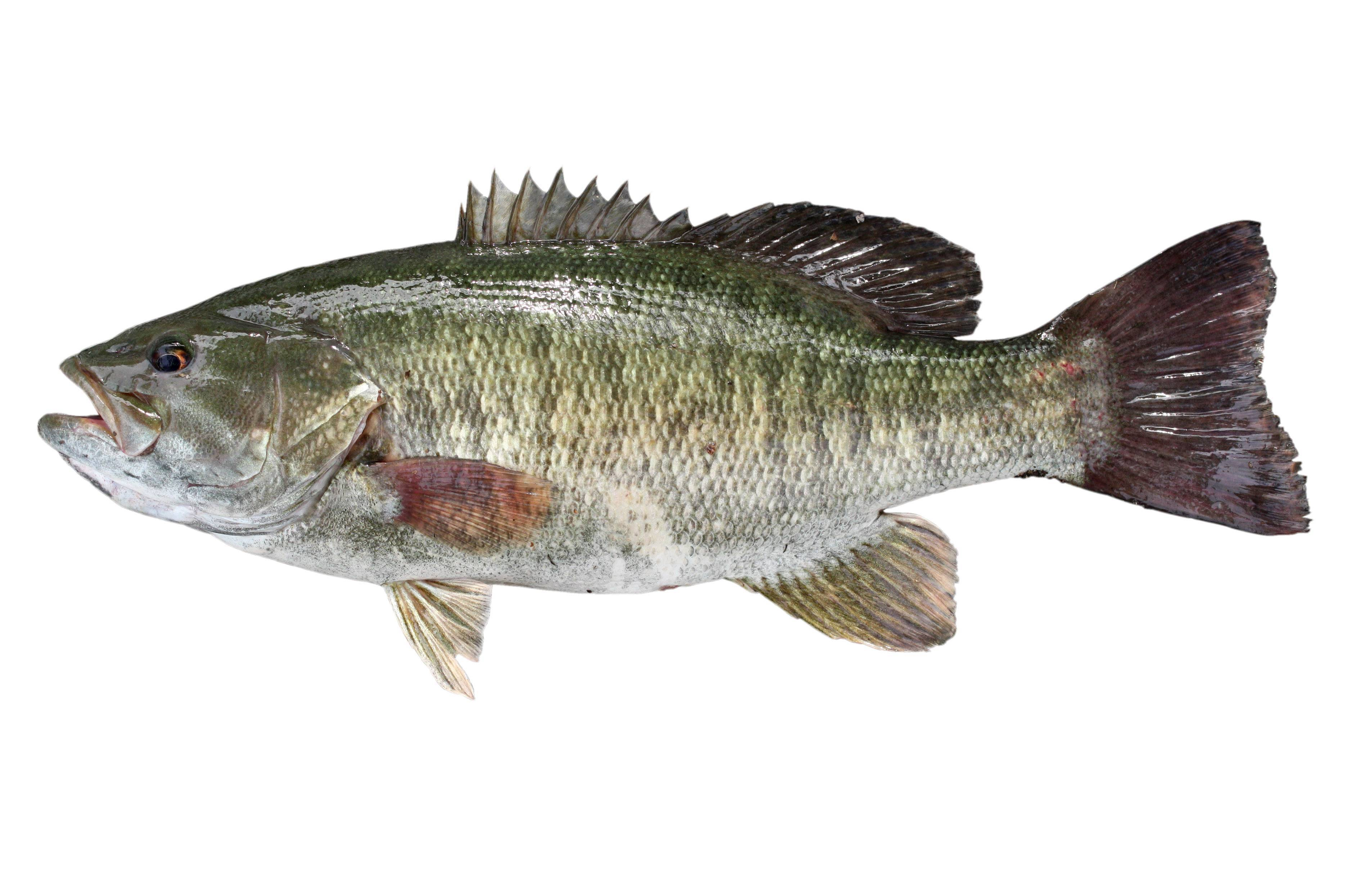 Малоротый басс рыбалка – пенсильвания, pa - fishingbooker