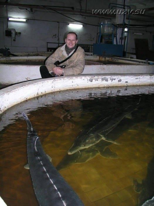 Стерлядь в аквариуме: фото рыбок, содержание, разведение, совместимость, видео стерлядь в аквариуме: фото рыбок, содержание, разведение, совместимость, видео
