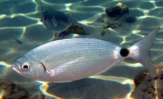 Пецилия чернохвостая (wagtail platy)