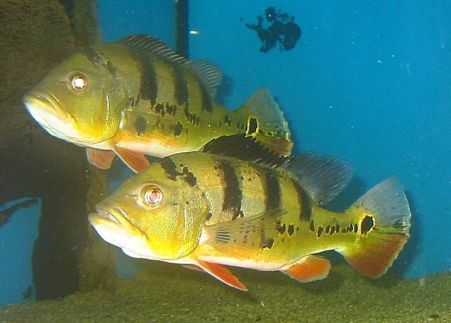 Аквариумная рыба-бабочка (пантодон): особенности ухода, внешний вид