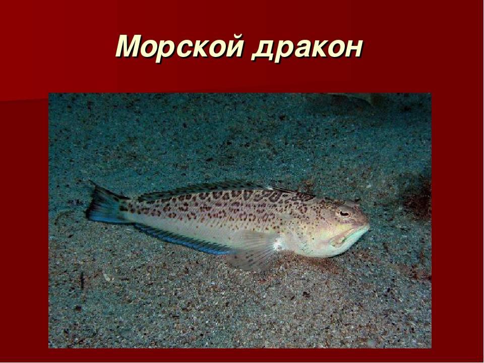 Рыбы средиземного моря - опасные и не очень обитатели вод   вся планета