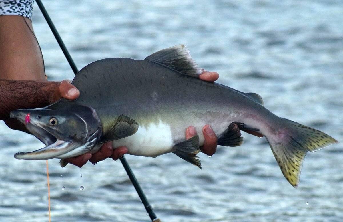 Описание вида рыбы горбуша, где водится в россии и других странах; речная или морская