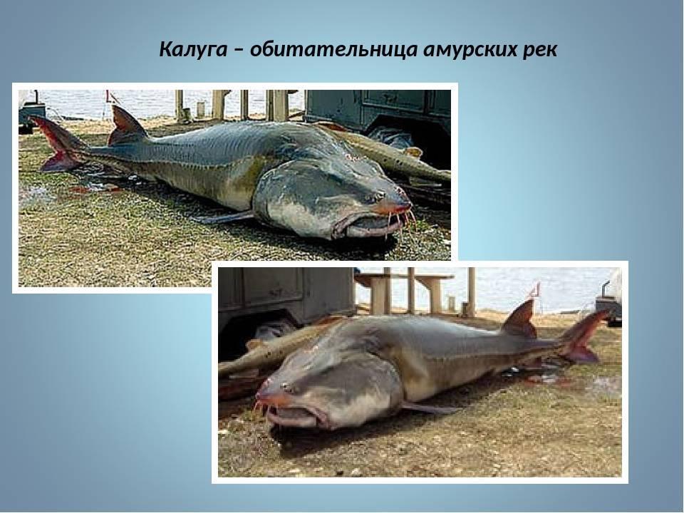 Описание рыбы калуга