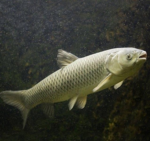 Белый амур. особенности ловли, приготовление рыбы, фото