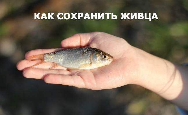 Живец для рыбалки - как поймать, использовать, хранить, насаживать.