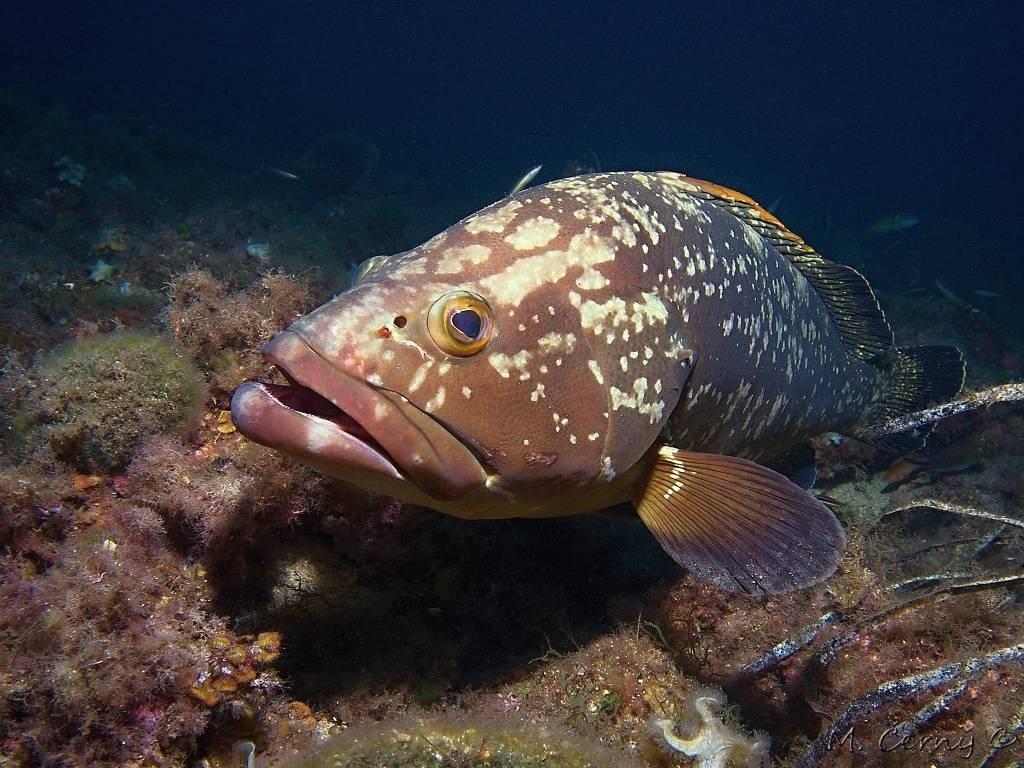 Рыба групер: картофельный, красный и другие представители каменных окуней