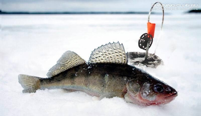 Ловля судака зимой на жерлицы: тактика ловли и секреты успеха - рыбачок!сайт рыбачок