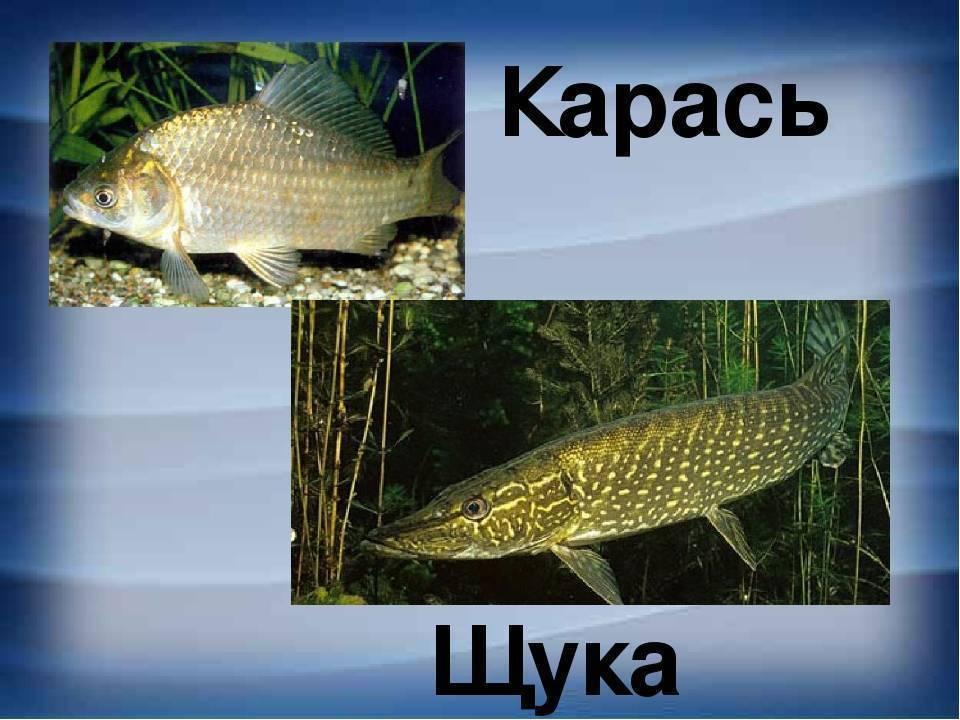 Список речной рыбы, названия с фото, речная рыба без костей