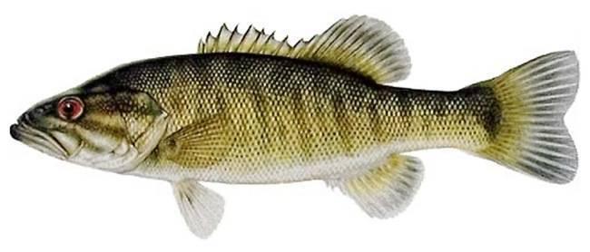 Рыба «Басс прибрежный» фото и описание