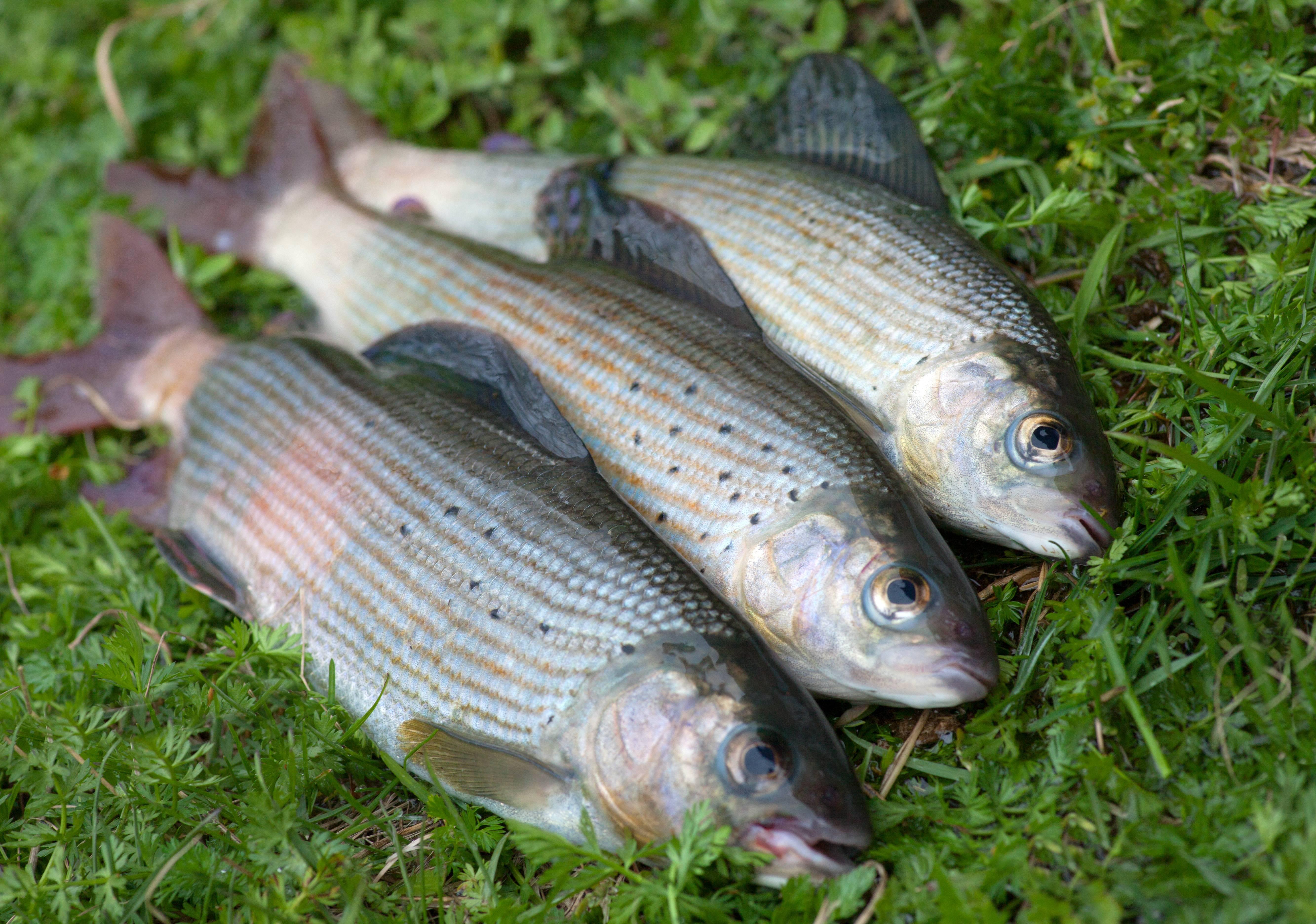 Рыба хариус: основные характеристики и способы ловли