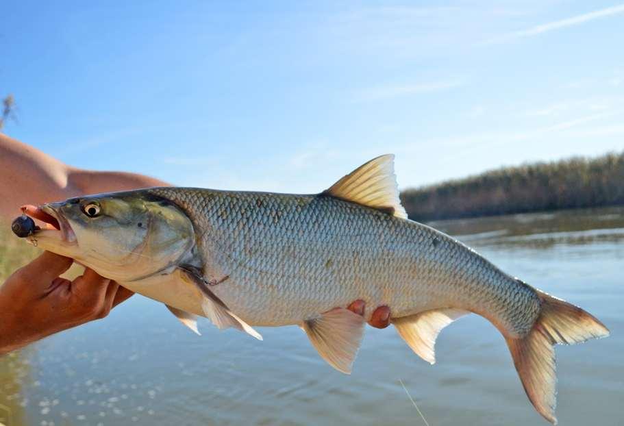 Жерех рыба: как выглядит, где водится, когда нерест жереха или шереспера