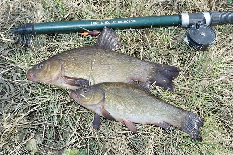 Ловля линя на поплавочную удочку, когда и на что линь клюет весной