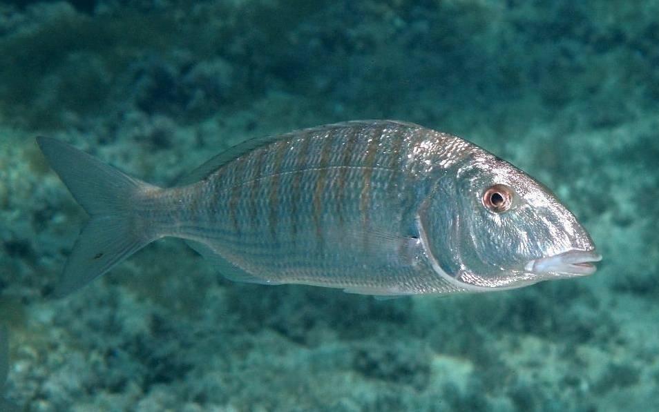 Рыба «Землерой атлантический» фото и описание