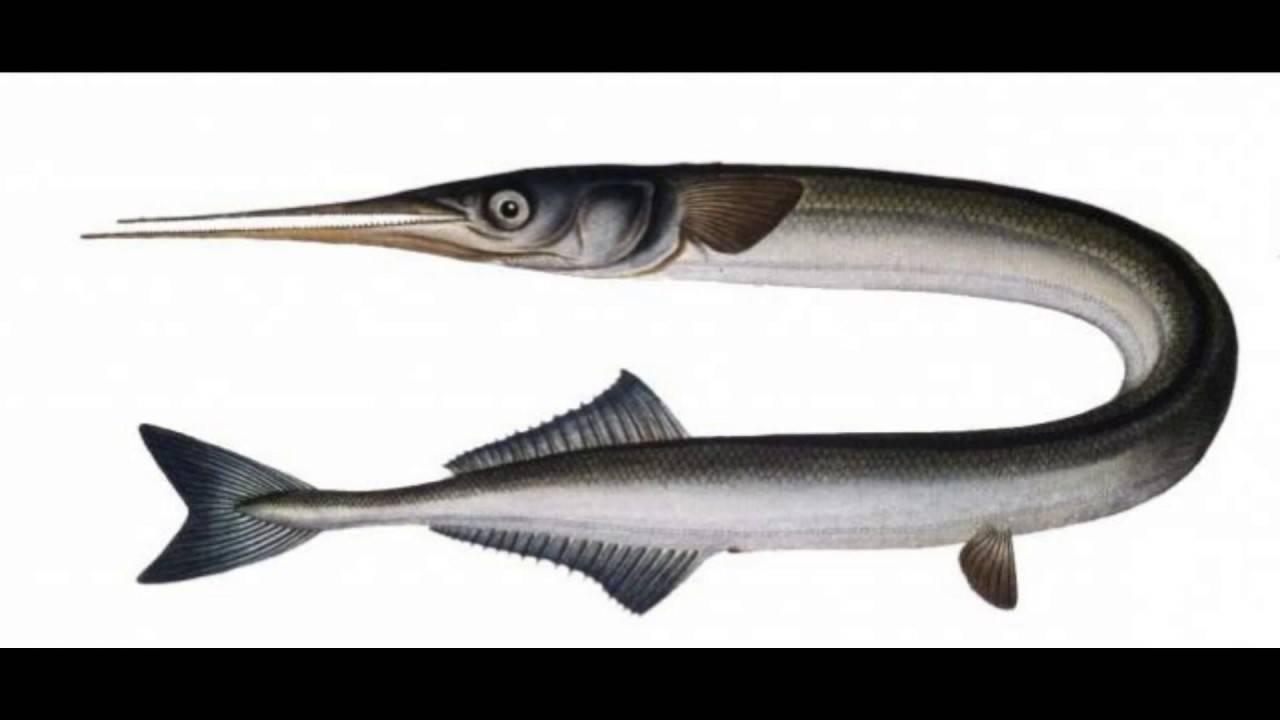 Сарган рыба. описание, особенности и среда обитания рыбы сарган