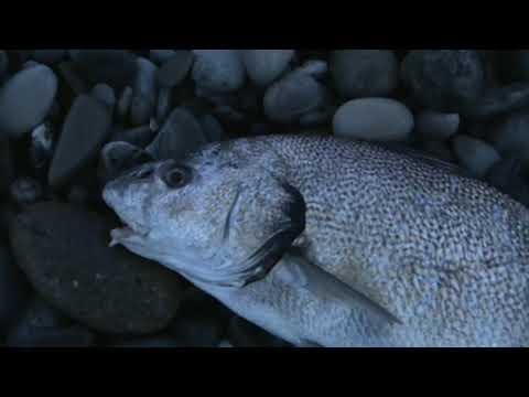 Ловля пятнистого горбыля, виды снастей и методы ловли пятнистого горбыля, рыболовные туры на пятнистого горбыля