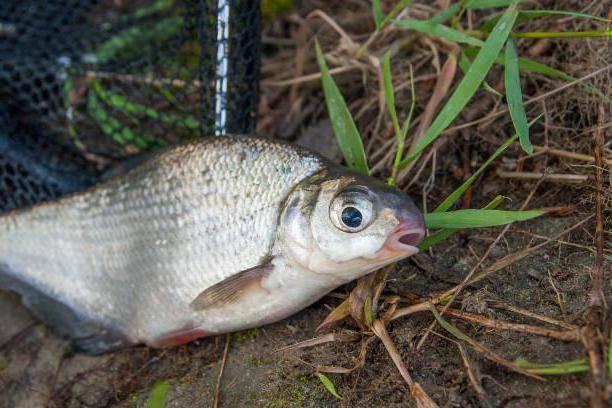 Белоглазка (сопа): описание рыбы, фото, нерест и питание, особенности ловли