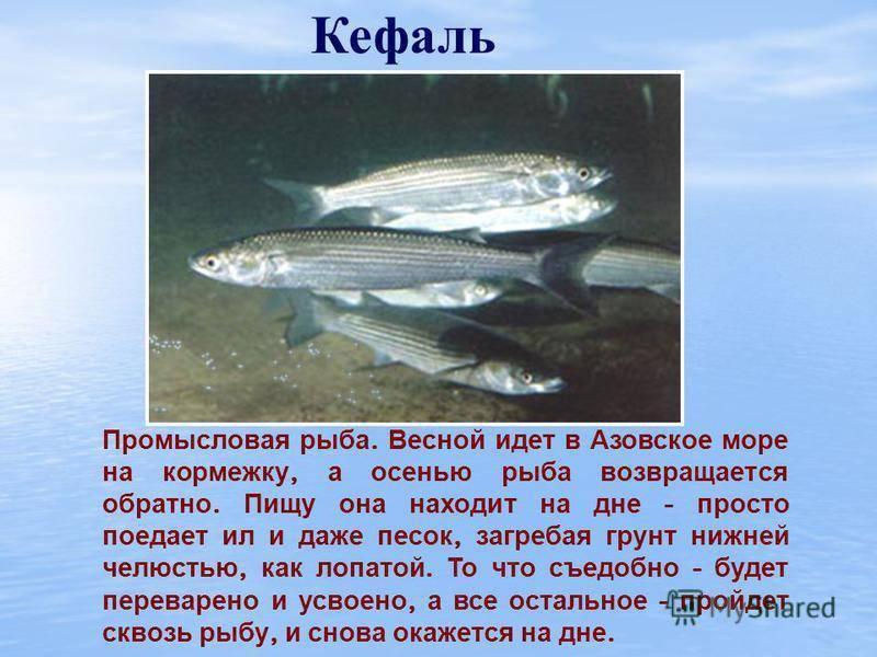 Шамайка рыба царская: описание внешнего вида, образа её жизни, размножение и фото