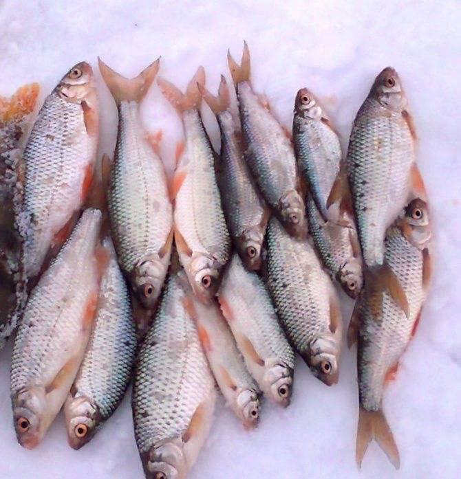 Рыба плотва: особенности, нерест, ловля и выращивание