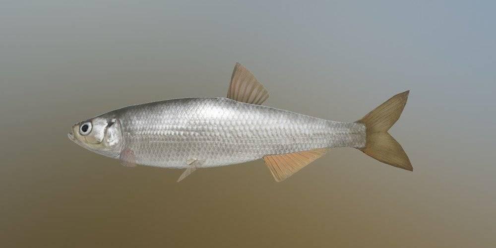 Шемая или шамайка — рыба семейства карповых, alburnus mento