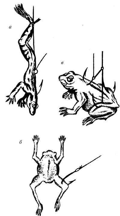 Ловля сома на лягушку - оснастка, полезные советы