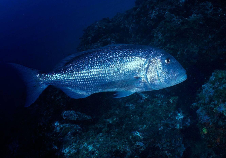 Рыба «Зубан» фото и описание