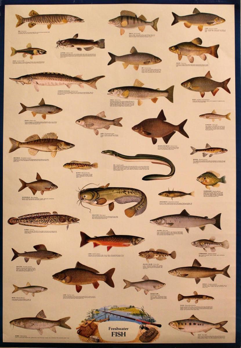 Речная рыба краткий обзор - рыбалка отдых для души