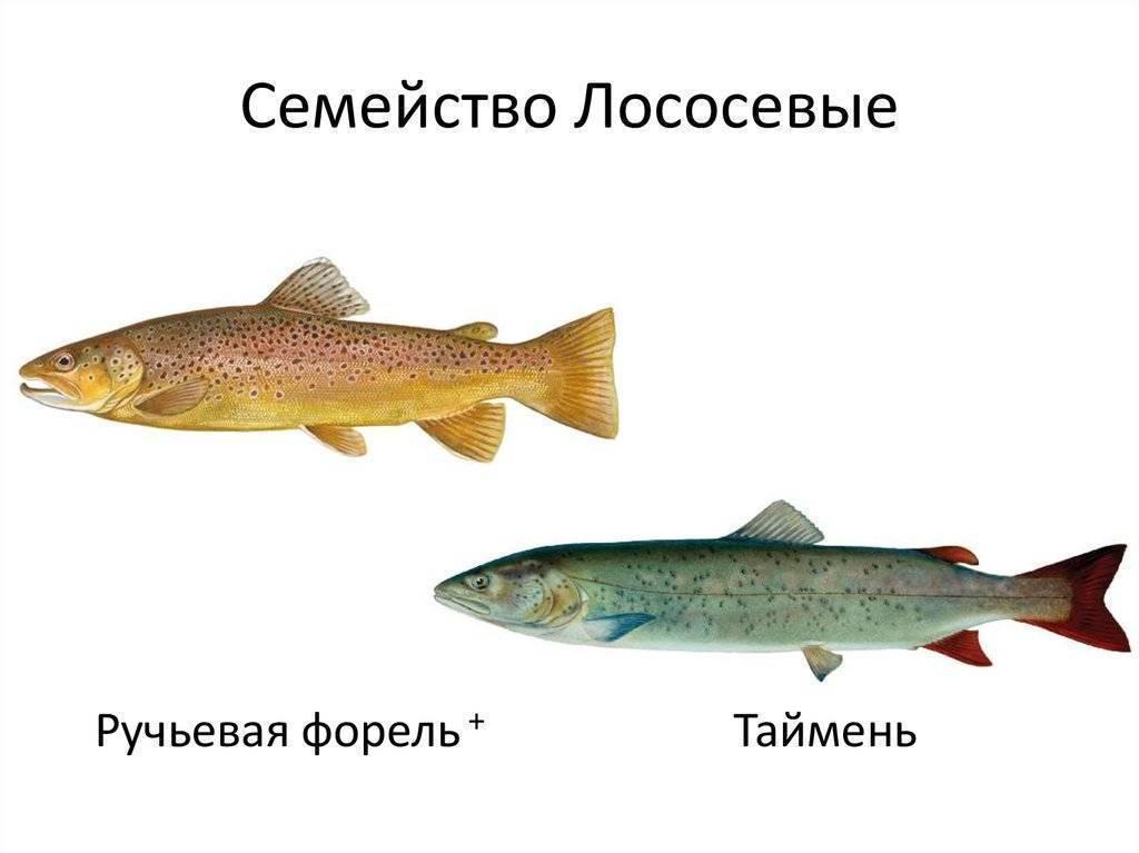 Лосось: какая это рыба, морская или речная, фото, цена
