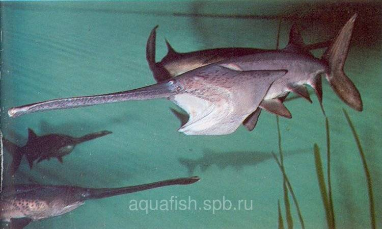 Рыба веслонос: фото, описание жизненного цикла, ареал обитания, особенности ловли