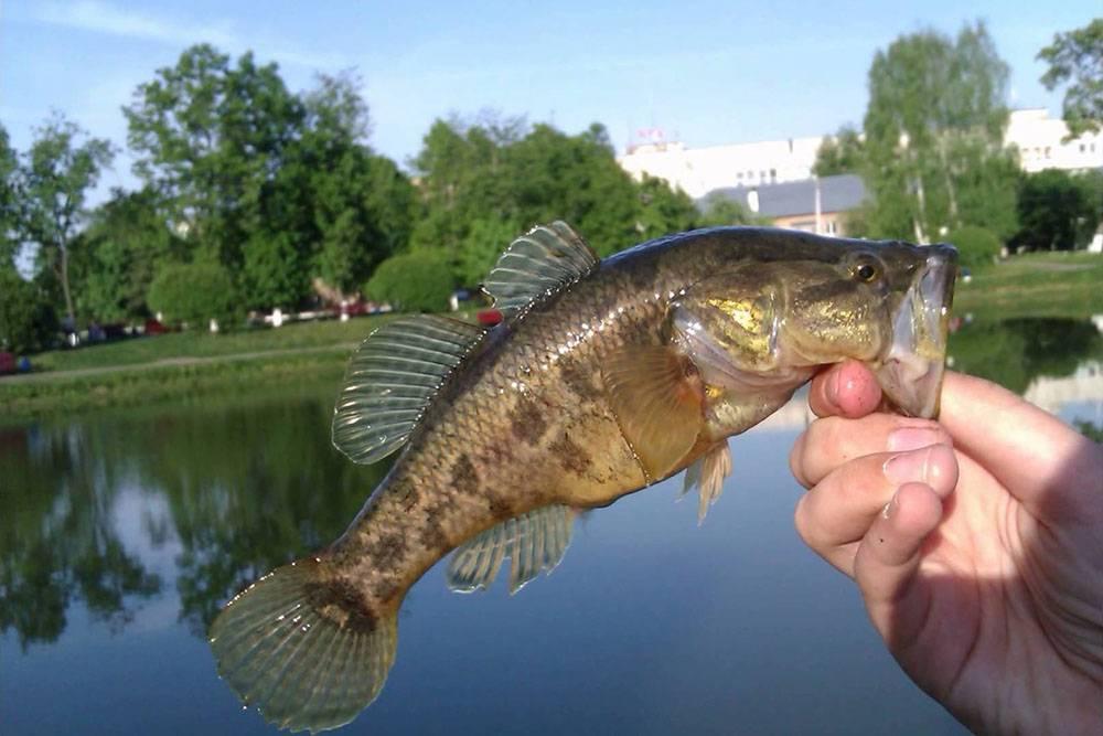 О съедобной рыбе ротан-головёшка: описание и ареал, особенности ловли и приготовления большой и мелкой рыбы