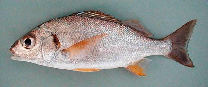 Молочная рыба: польза и вред, отзывы, рецепты приготовления с фото