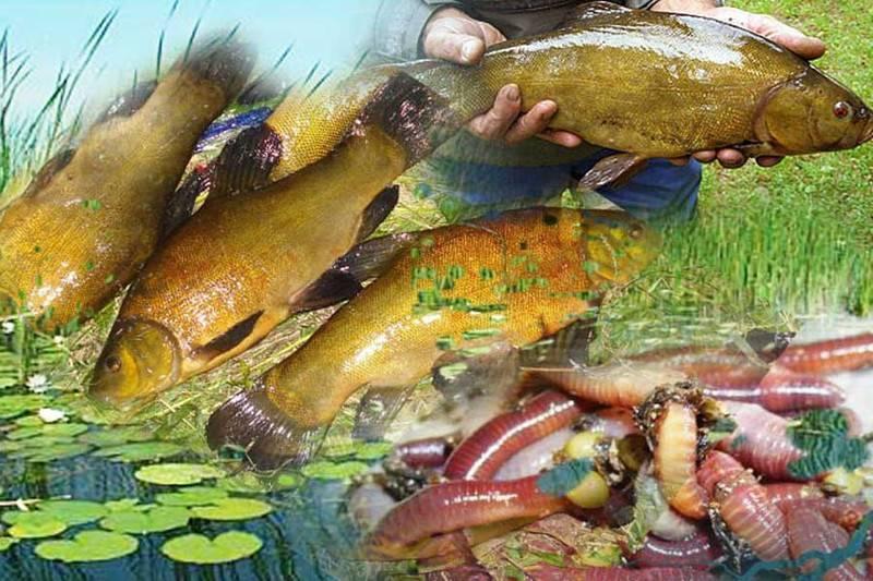 Линь золотистый - описание, фото, ловля линя, наживки, прикормка