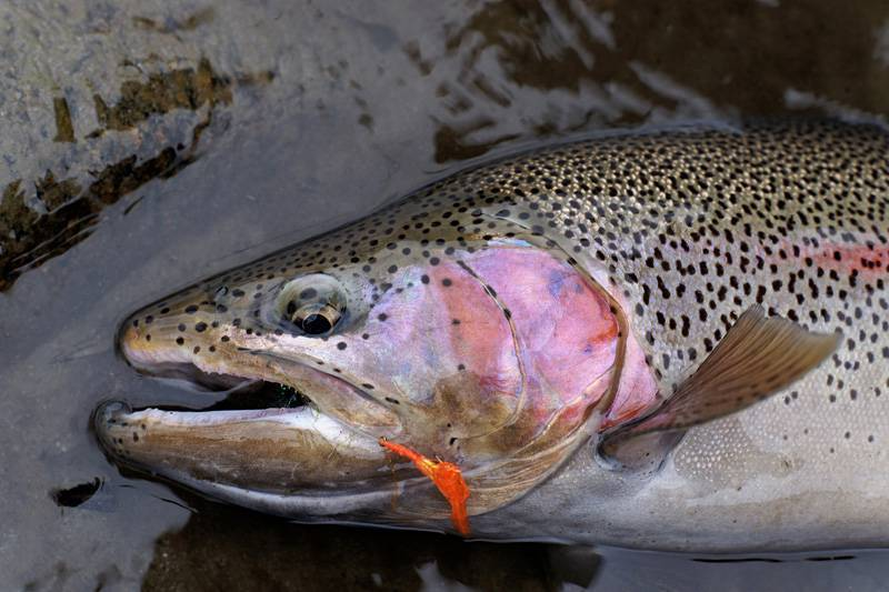 Лососевые рыбы - список с фото и названиями | рыбы семейства лососевых