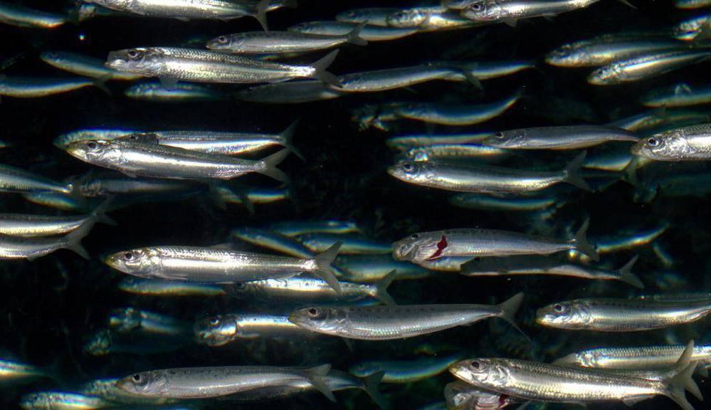Анчоусы – что это такое, описание рыбы, состав и как выбрать