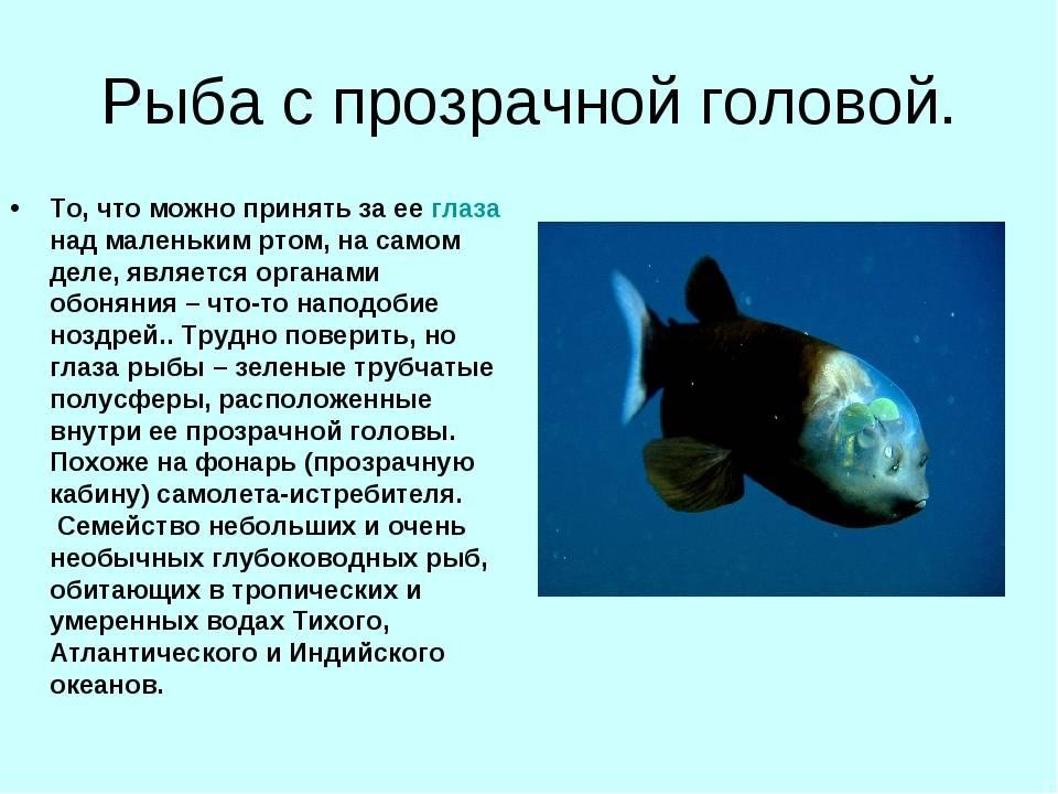 Рыба капля: внешний вид сопли, размножение и интересные факты
