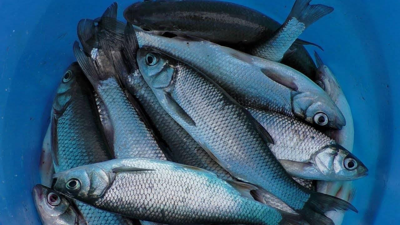Чебак рыба фото и описание - про рыбалку
