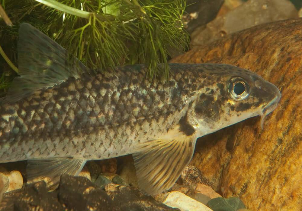 Рыба пескарь: как выглядит и где обитает, самый большой пескарь