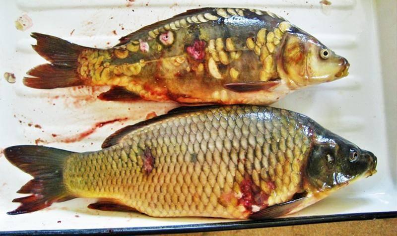 Чем опасна речная рыба: профилактика описторхоза и дифиллоботриоза