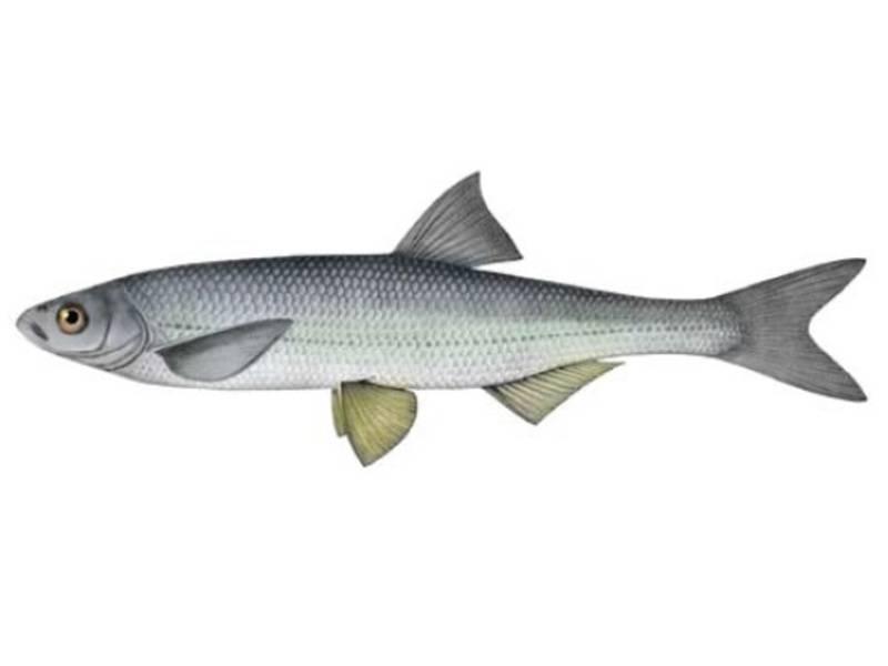 Шамайка – редкая азовская рыба. как выглядит и где водится рыба шамайка?