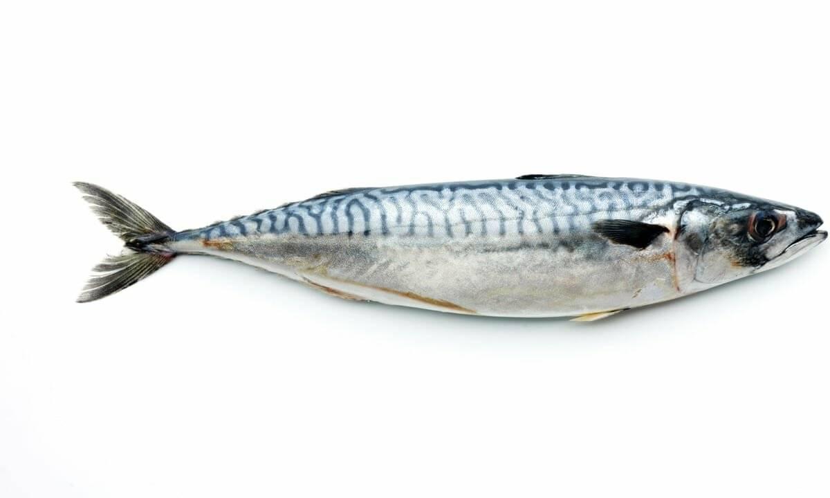 Скумбрия рыба. образ жизни и среда обитания скумбрии