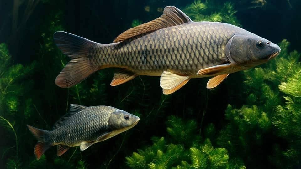 Рыба «Сазан» фото и описание